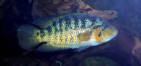 Parachromis motaguensis, False yellowjacket cichlid: aquaculture