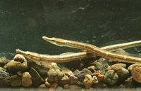Microphis retzii, Ragged-tail pipefish: