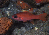 Apogon robinsi, Roughlip cardinalfish: