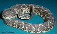 Image of: Crotalus durissus (neotropical rattlesnake)