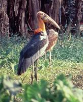 Greater Adjutant - Leptoptilos dubius