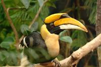 Great Indian Hornbill (male)