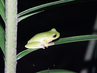 : Litoria barringtonensis; Mountain Stream Tree Frog