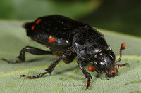 : Nicrophorus pustulatus; Carrion Beetle