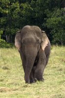 Asian Elephant   Elephas maximus photo