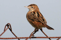 Zitting Cisticola (Fan Tailed Warbler)
