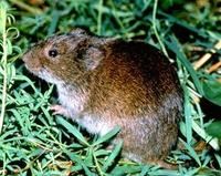 Image of: Microtus pennsylvanicus (meadow vole)