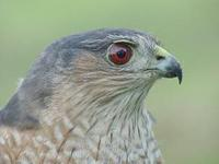 Image of: Accipiter striatus (sharp-shinned hawk)
