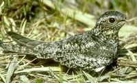 Image of: Chordeiles minor (common nighthawk)