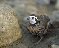 Northern Bobwhite (Colinus virginianus) photo