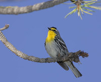 Grace's Warbler (Dendroica graciae) photo