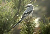Chinese Gray Shrike - Lanius sphenocercus
