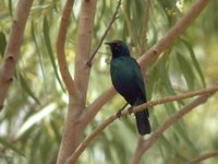 Lesser Blue-eared Glossy-Starling - Lamprotornis chloropterus