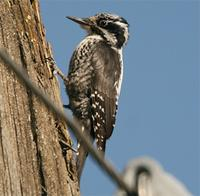 European Three-toed Woodpecker