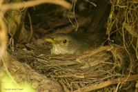 *NEW* Rufous-bellied Thrush (on nest)
