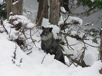 A serow in the valley near Yudanaka, Japan.  Not a wild boar as I first thought