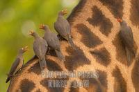 Red Billed Oxpeckers on a thornicrofts giraffe stock photo