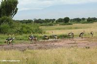 Flock of Grey crowned crane (Balearica regulorum) on the African savanna