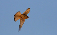 Female Lesser Kestrel