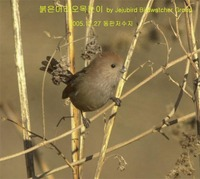 붉은머리오목눈이 Vinous-throated Parrotbill...