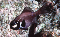 Photoblepharon palpebratum, Eyelight fish: aquarium