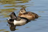 Image of: Aythya collaris (ring-necked duck)