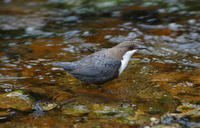 Image of: Cinclus cinclus (white-throated dipper)