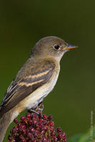 Image of: Empidonax minimus (least flycatcher)