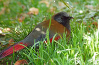 Image of: Garrulax formosus (red-winged laughingthrush)
