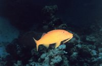 Parupeneus cyclostomus - Blue Goatfish