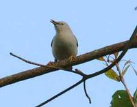 White-headed Starling - Sturnus erythropygius