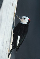 White-headed Woodpecker (Picoides albolarvatus) photo