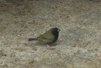 Black-faced Grassquit - Tiaris bicolor