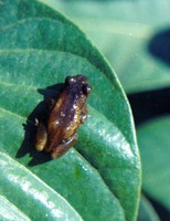 : Afrixalus spinifrons; Spiny-snouted Leaf-folding Frog