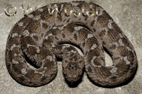 : Echis pyramidum leakeyi; Saw-scaled Viper