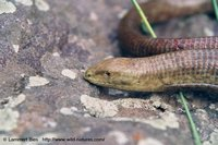 : Pseudopus apodus; European Glass Lizard