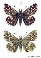 Pyrgus malvae - Grizzled Skipper
