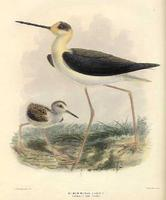 Poaka, the pied stilt and chick