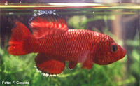 Nothobranchius orthonotus, Spotted killifish: aquarium