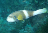 Notolabrus tetricus, Blue-throated wrasse: