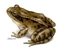 Image of: Rana temporaria (European frog)