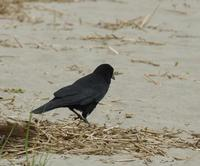 Image of: Corvus caurinus (north-western crow)