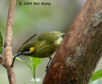 Yellow-eared Honeyeater - Lichmera flavicans