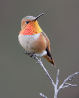 Allen's Hummingbird (Selasphorus sasin) photo
