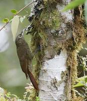 Olive-backed Woodcreeper (Xiphorhycnhus triangularis) photo