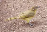 Yellow-bellied Greenbul - Chlorocichla flaviventris