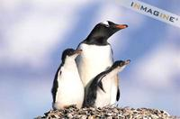 Gentoo Penguin with chicks on nest (Pygoscelis papua) photo