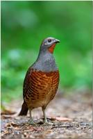 Chinese Bamboo Partridge