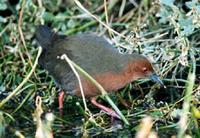 Ruddy-breasted crake Porzana fusca
