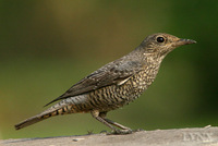 Blue Rock-thrush female 籃磯鶫